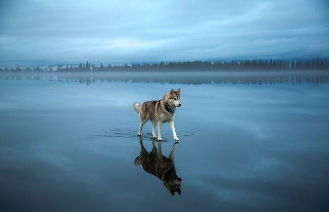 Serigala Di Atas Air