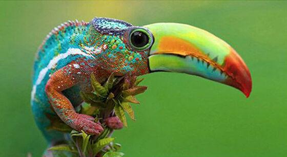 Toucameleon Foto Photoshop Unik Gabungan Hewan