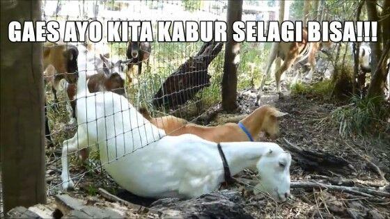 Meme Kocak Hewan Kurban 6 63d59