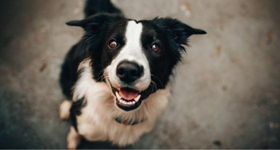 Anjing Tertular Covid 19 A2247
