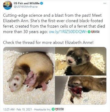 Elizabeth Anne Klon Musang Kaki Hitam 3e424