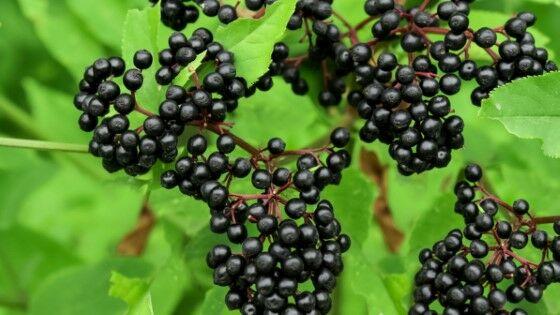 Elderberry 3082b