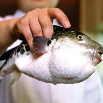 Ikan Fugu 4a5b3