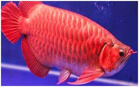 Ikan Purba Yang Masih Hidup Di Indonesia Ikan Arwana Super Red E1e31