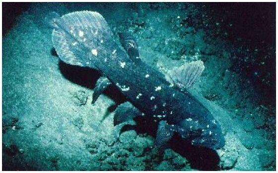 Ikan Purba Yang Masih Hidup Di Indonesia Ikan Coelacanth Ed9f0
