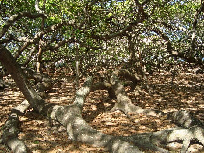 Pohon Tertinggi Di Indonesia B8f48