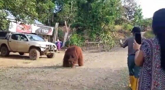 Orangutan 1 Eb365
