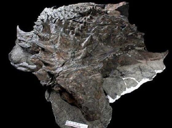 Fosil Isi Perut Nodosaurus E44a5