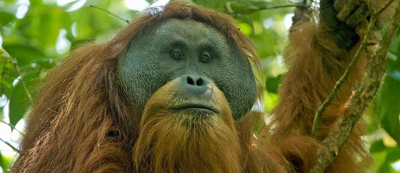 Orangutan Tapanuli 60c61