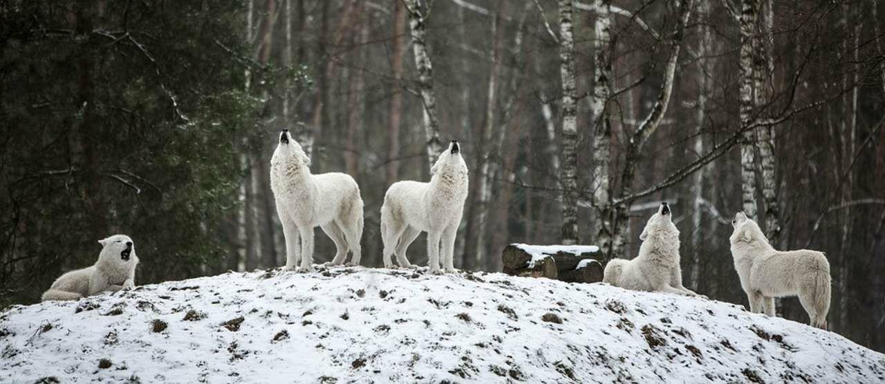 Polar Wolf 53139