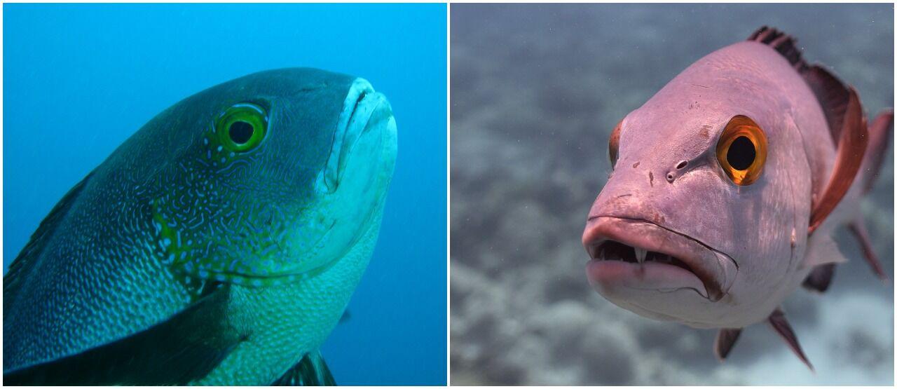 Ikan Kakap Tertua Di Dunia A016e