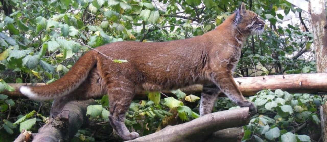 Kucing Emas Asia 0a675
