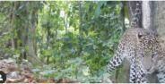 Macan Tutul Jawa Terekam Kamera Banner 5265e