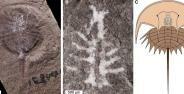 A Spesimen Fosil Yang Ditemukan B Bagian Close Up Otaknya C Gambar Rekonstruksi Euproops Danae Fd424 Da883