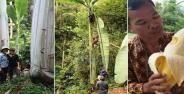 Pisang Terbesar Di Dunia Ada Di Indonesia Banner Cfc4d