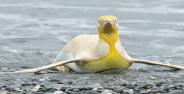 Ilmuwan Temukan Penguin Kuning Langka Banner 5b48f