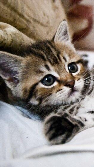 kitten (Custom)