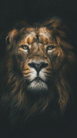 lion (Custom)