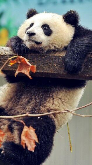 panda (Custom)