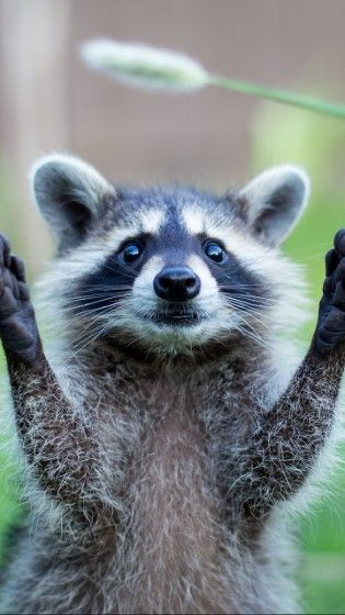 Raccoon Custom 11ffd