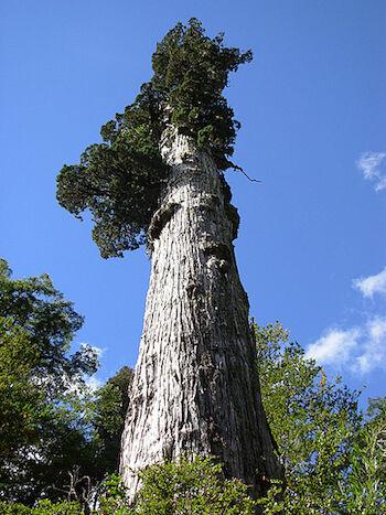 Pohon Old Tjikko 1fc47