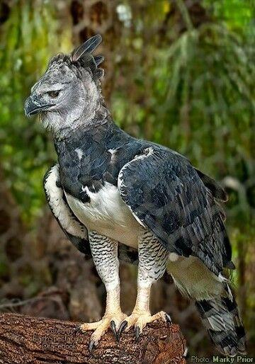 Elang Harpy 2 E6e1a