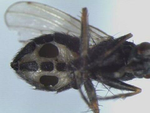 Jamur Jenis Baru Ubah Lalat Jadi Zombie 1d44b