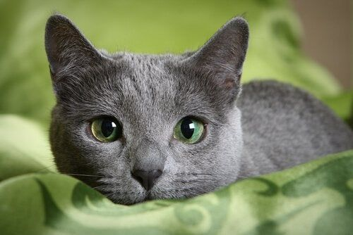Russian Blue Dee51