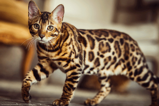 Bengal Cat A3aab