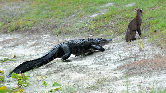 Gator Vs Bobcat