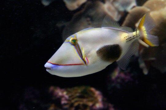 Ikan Blackpatch 30f7b