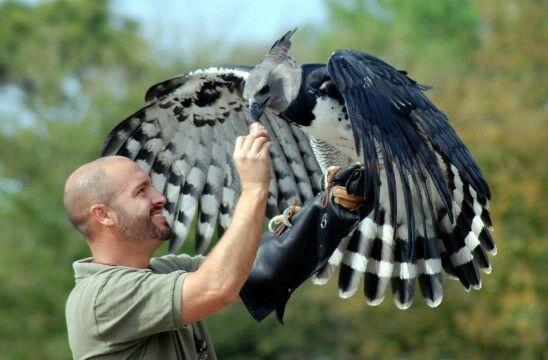 Elang Harpy 1 2b8d8