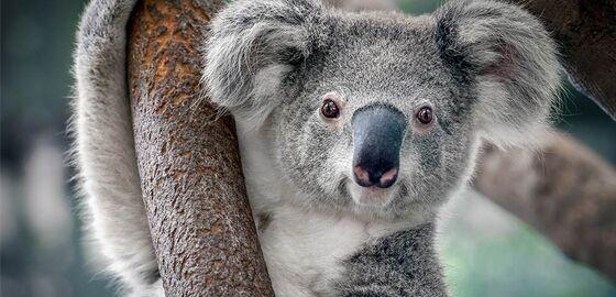 Koala C615b
