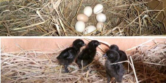 Anak Ayam Cemani Dan Telurnya Berwarna Putih Merdeka Com 6018d