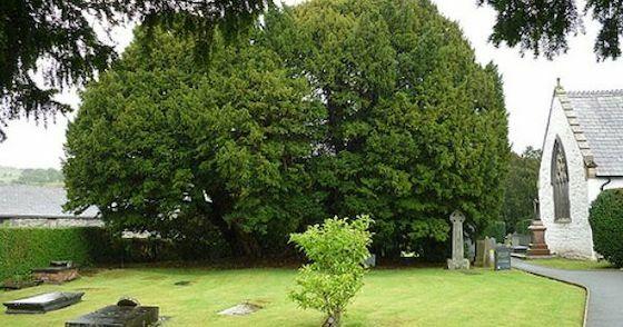 Pohon Tertua Di Seluruh Dunia 7cc41