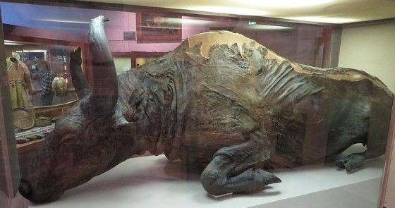 Fosil Bison Utuh Fe240