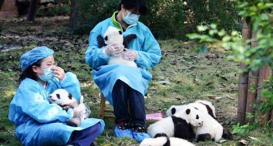 Pengasuh Panda 5d553