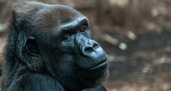 Gorila Positif Terjangkit Covid 19 Dec07