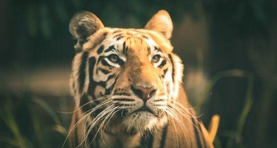 Hewan Harimau Terpapar Covid 19 E4582