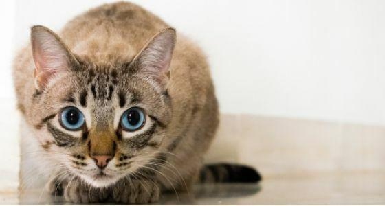 Kucing Terpapar Covid 19 110db