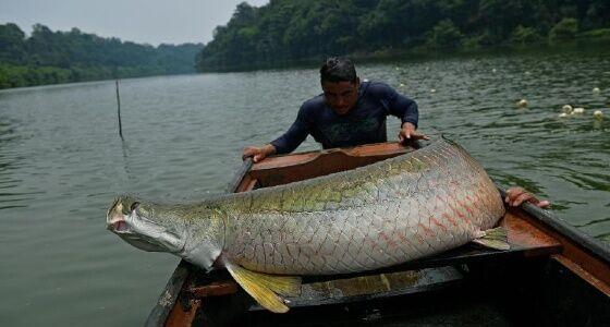 Nelayan Dan Arapaima Dacd0