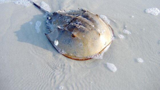 Hewan Purba Laut C6742