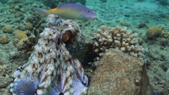 Gurita Pukul Ikan Tanpa Sebab D001c