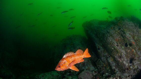 Rougheye Rockfish LiveScience Dfb67
