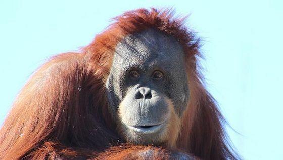 Orangutan Kalimantan Fa6fd