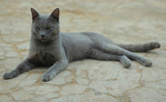 Kucing Busok Madura 4 Ac42c