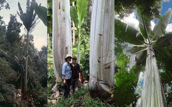 Pisang Terbesar Di Dunia Ada Di Indonesia Musa Ingens 0c85f