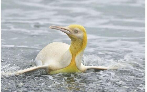 Ilmuwan Temukan Penguin Kuning Langka Yves Adams 44fb0