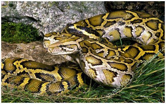 Ular Terbesar Di Dunia Indian Python 830dd