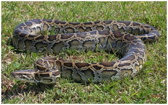Ular Terbesar Di Dunia Ular Burmese Python E5221